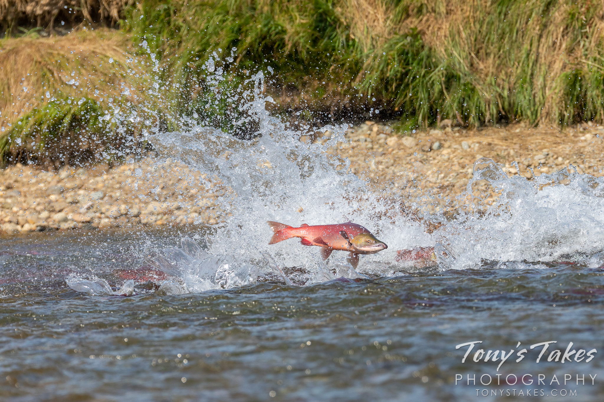 Salmon fly through the air when a brown bear belly flops into the river after them. (© Tony's Takes)