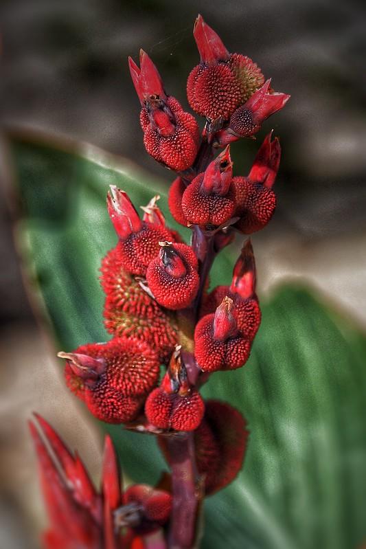 Brampton Ontario - Canada - Alderlea Mansion  - Garden- Flower - Exotic