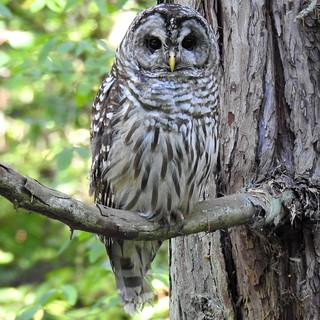 Barred Owl 8/12/19d