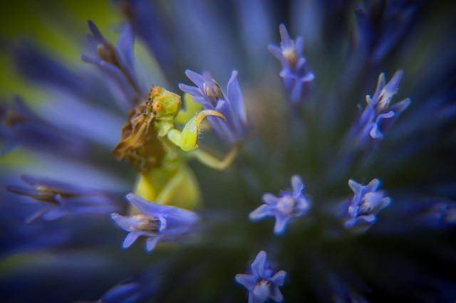 Ambush Bug On A Thistle