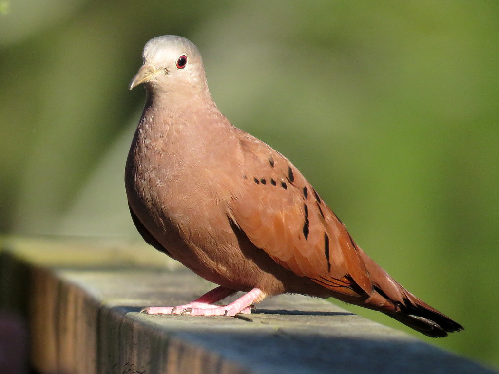 La Tortolita Rojiza es un ave común en toda américa que ha sabido adaptarse muy bien a las cercanías del hombre.