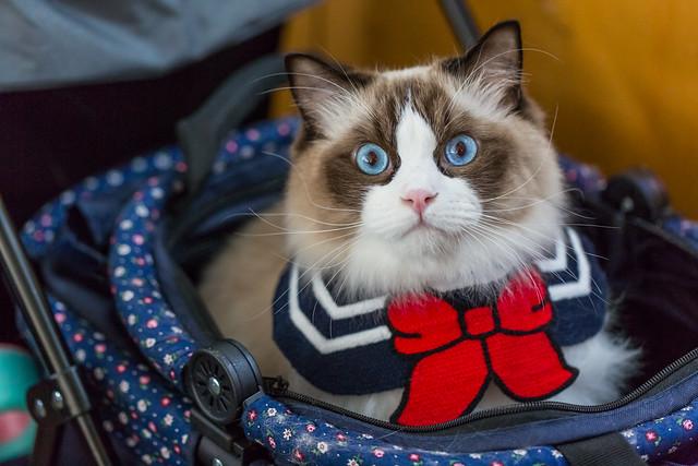 Ragdoll Cat in Pet's car