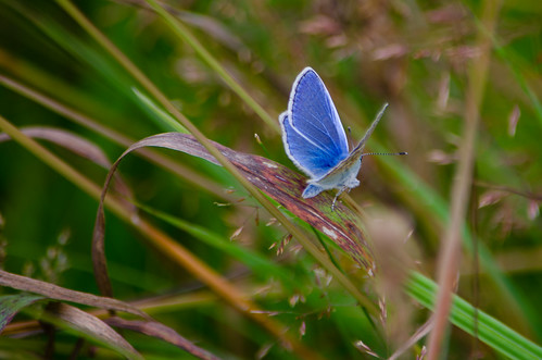 Common blue butterfly resting on grass leaf