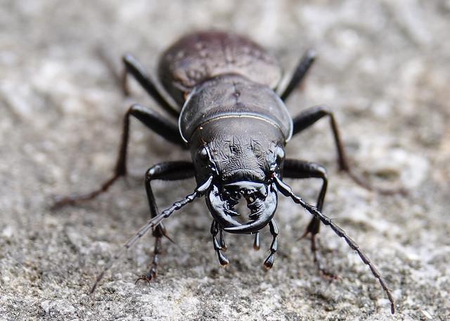 Omus dejeanii - Greater Night-stalking Tiger Beetle