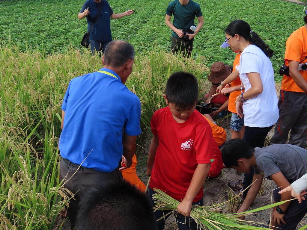 中角國小學童體驗割稻。攝影:廖靜蕙
