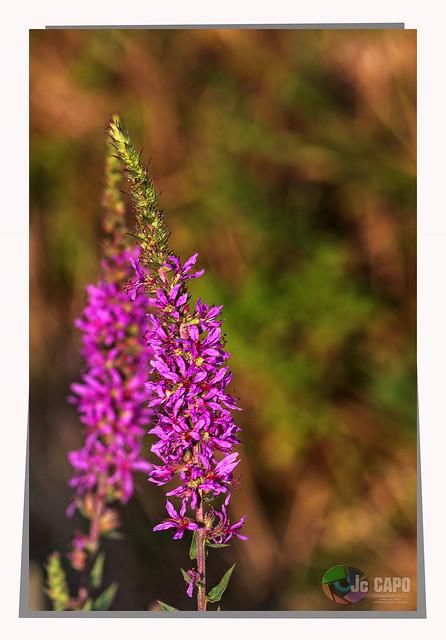 """Lythrum salicaria : """"Le plaisir est comme une fleur : on le cueille et il meurt au bout de quelques heures."""" De Roger Fournier"""