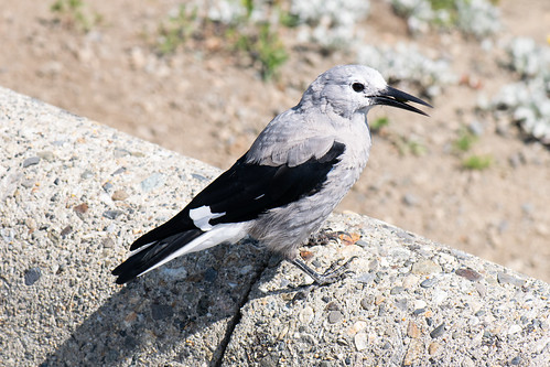 Clark's Nutcracker with seed