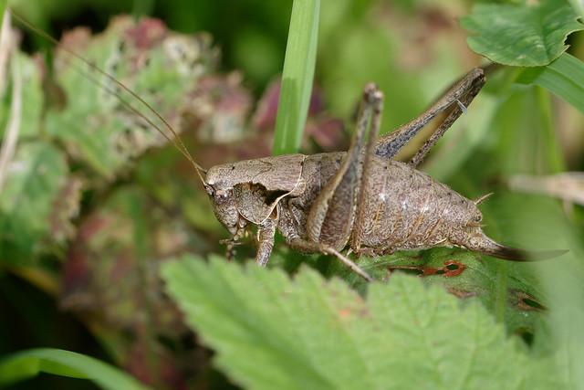 Dark Bush-cricket, female (Pholidoptera griseoaptera) Buskvårtbitare