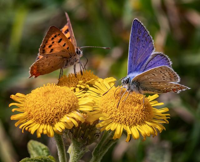Common Blue (Polyommatus icarus) and Small Copper (Lycaena phlaeas) feeding on Common Fleabane (Pulicaria dysenterica)