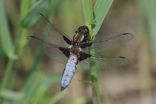 cambridgeshire libelluladepressa woodwaltonfen broadbodied chaser dragonfly insect nature wild wildlife
