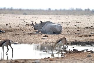 Namibia - Etosha NP - Black Rhinoceros