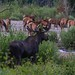IMG_7673 moose and elk.....