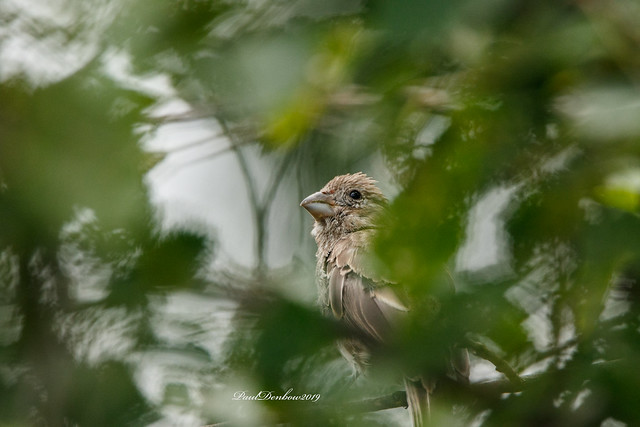 Finch hiding in the branches