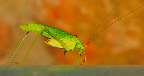 and one more Katydid