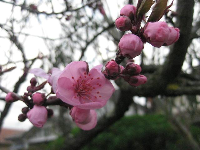 Prunus Cherry Blossoms