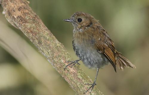 Sunda Robin (female)