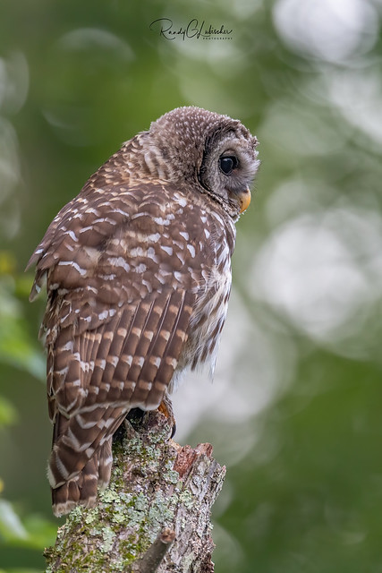 Barred Owl - Strix varia | 2019 - 21