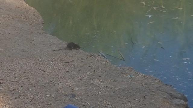 Ratas en el Parque Miraflores