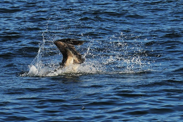Brown Pelican Diving For A Fish