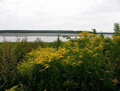 latvia riga jugla juglas lake rīga latvija irina galitskaya galterrashulc landscape flowers yellow green nature water flora