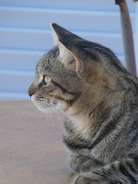 profil chat gris