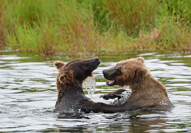 Play Fight! Two sub adult brown bears playing in the water - 4600b