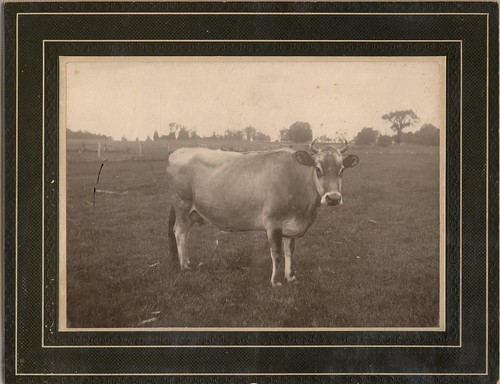 PB10023 PC Old Jersey cow c1910