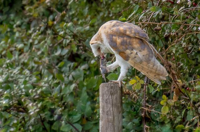 DSC8301  Barn Owl..