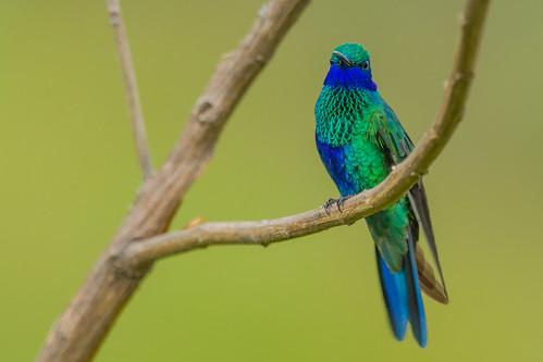 Colibri coruscans - Sparkling Violetear – Chillón común.