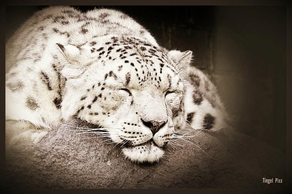 Leopard / Big Cat