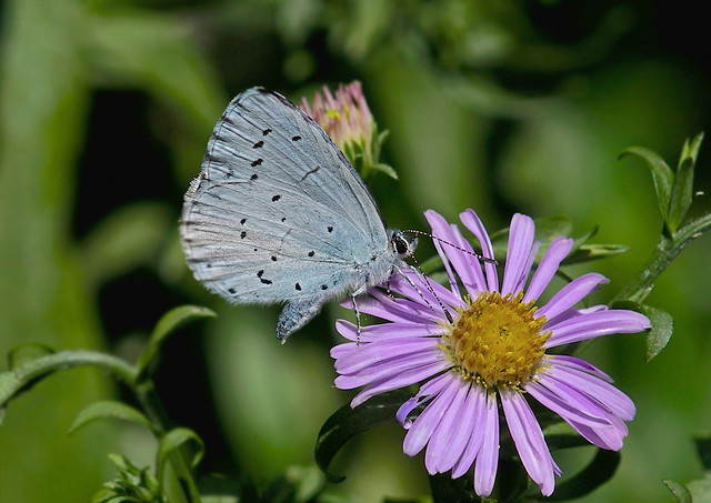 Holly Blue --- Celastrina argiolus