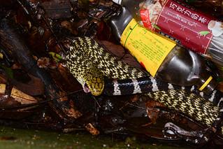 Rat Snake Regurgitating a Krait 3