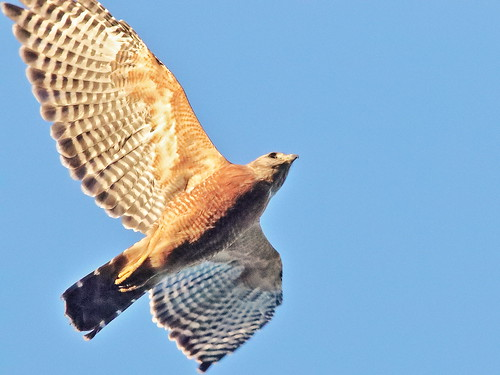 Red-shouldered Hawk 07-20190813