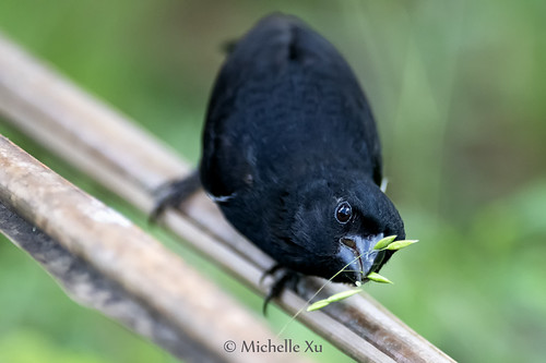 variable seedeater eating seeds