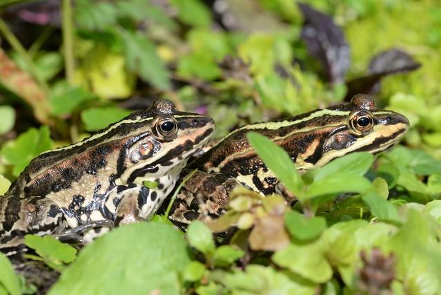 Pool Frogs (Pelophylax lessonae) - females