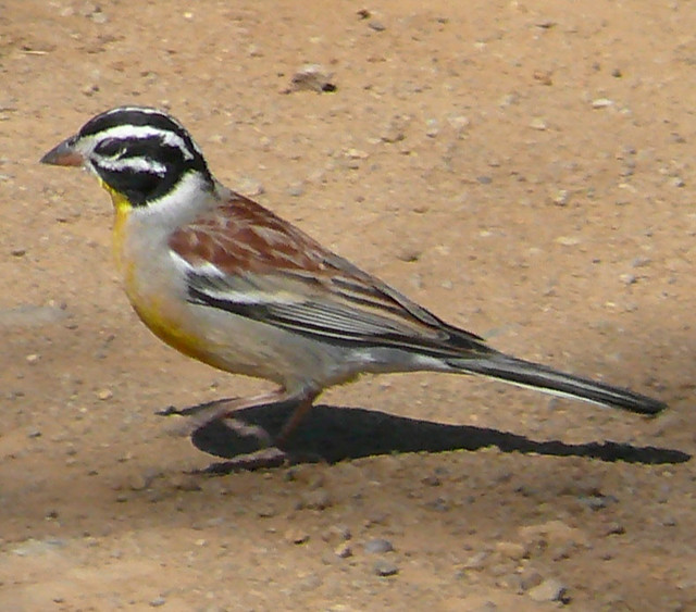 Cinnamonbreasted Rock Bunting