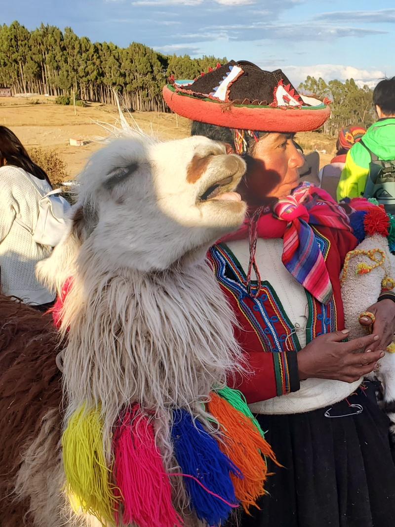 Alpacas in Cusco