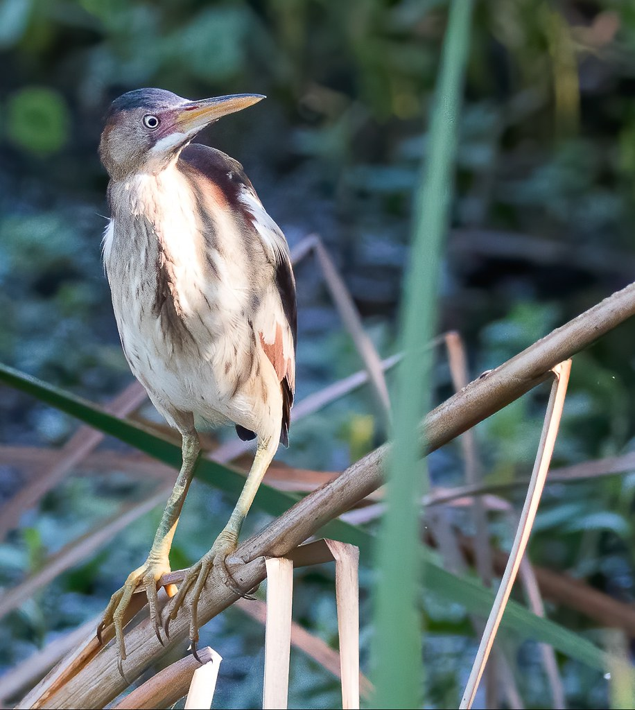 Yet Another Look at a Least Bittern