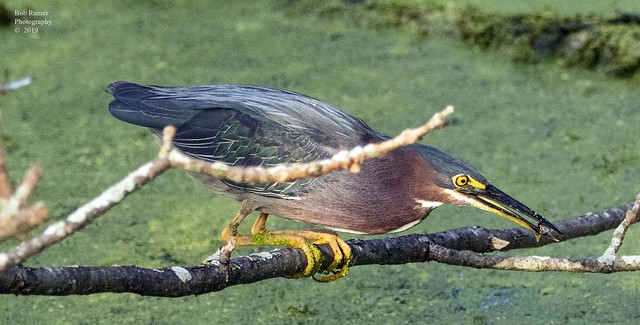 Green Heron with Fish.