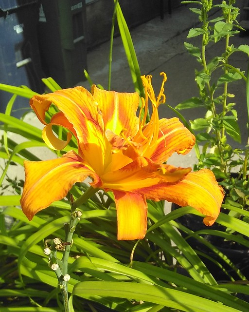 Lone lily #toronto #dovercourtvillage #flowers #orange #lily #lilies #garden