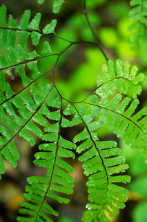Northern Maidenhair Fern - Adiantum pedatum