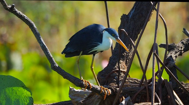 Pied Heron,  Corroboree Billabong, NT