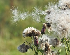 Thistle Down - Seed Head Dispersal