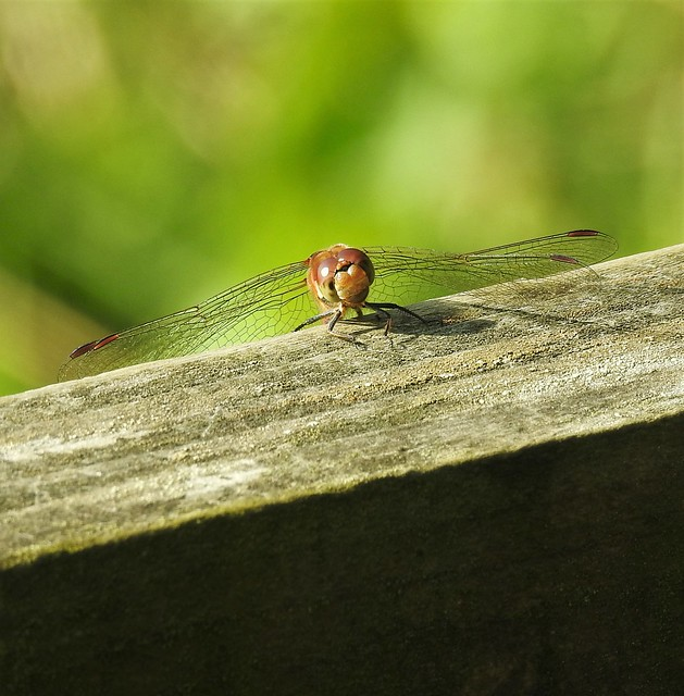 Red Darter Dragonfly - Living On The Edge
