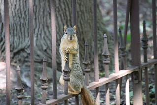 63/366/4080 (August 13, 2019) - Fox Squirrels on a Beautiful Summer Day at the University of Michigan - August 13th, 2019