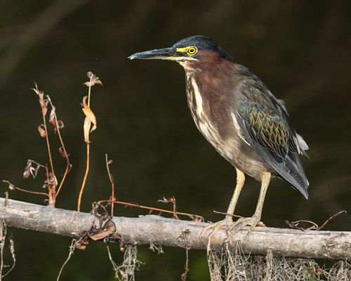 Green Heron | by Zombiesniper