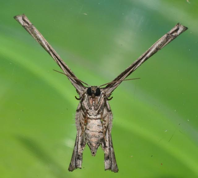 X moth or Y moth Phazaca sp Epipleminae Uraniidae Mandalay rainforest Airlie Beach P1011758