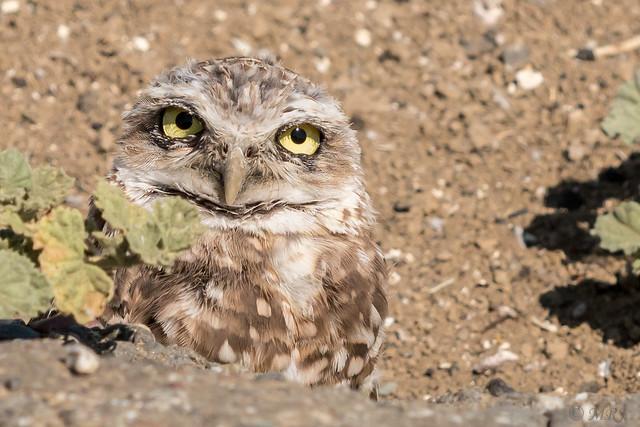 Big Eyed Burrowing Owl