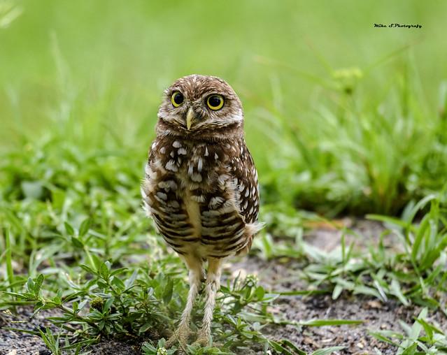 Burrowing owl (juvenile)