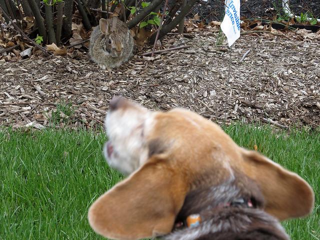 Beagle vs Rabbit